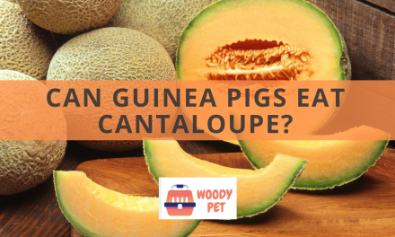 Can Guinea Pigs Eat Cantaloupes?