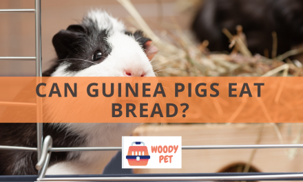 Can Guinea pigs Eat Bread?