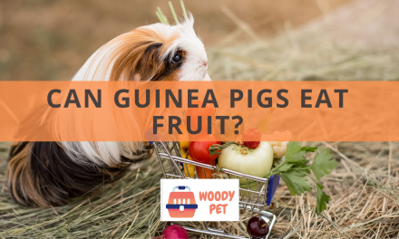 Can Guinea pigs Eat Fruit?