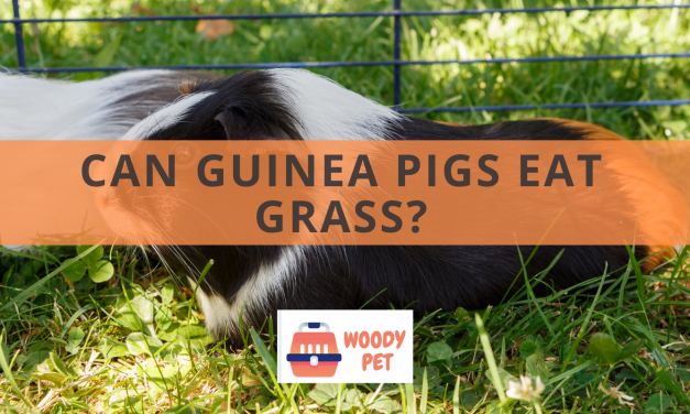 Can guinea pigs Eat Grass?