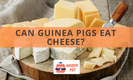Can Guinea Pigs Eat Cheese?